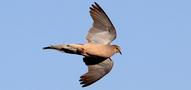 MOURNING DOVE FEATURE