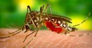 mosquito feature