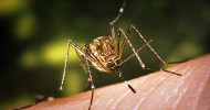 West Nile feature