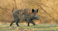 Feral Hog feature