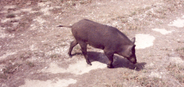 Photo of AREA PACKING COMPANY HELPING CONTROL FERAL HOGS AND FEED THE HUNGRY