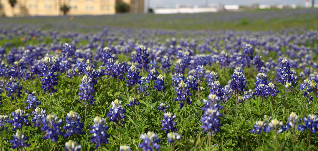 Photo of CHAPPELL HILL BLUEBONNET FESTIVAL THIS WEEKEND